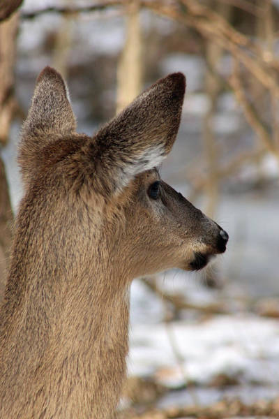 Photograph - Deer Day Dreamer by Lorna R Mills DBA  Lorna Rogers Photography