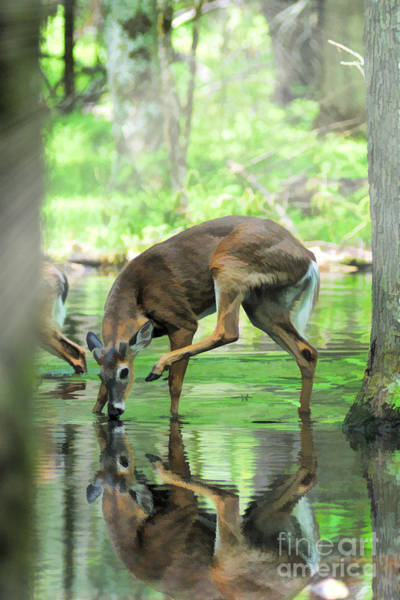 Photograph - Deer Drinking Water And Scratching Head by Dan Friend