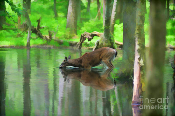 Photograph - Deer Drinking Water by Dan Friend