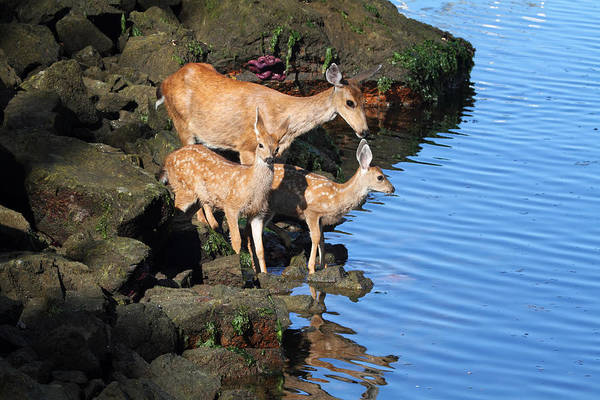 Photograph - Deer Family By The Ocean At Low Tide by Peggy Collins
