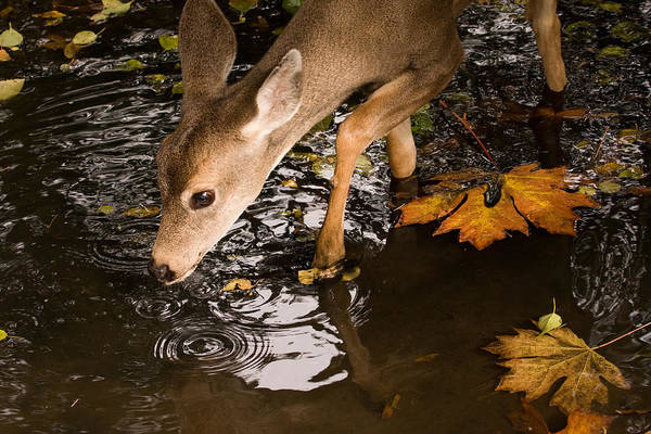 Photograph - Deer Fawn Bobbing For Apples by Peggy Collins