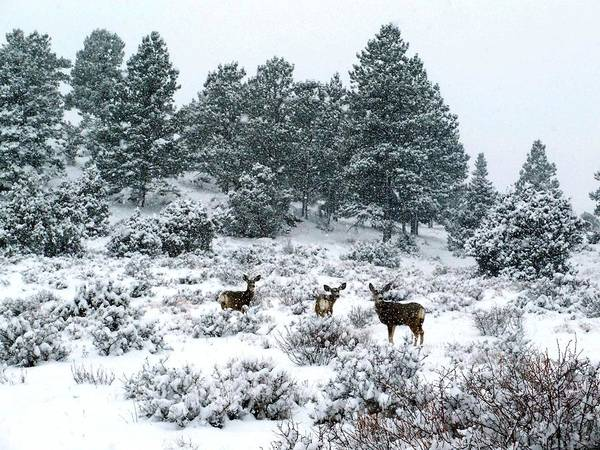 Photograph - Deer In A Snow Storm by Tranquil Light  Photography