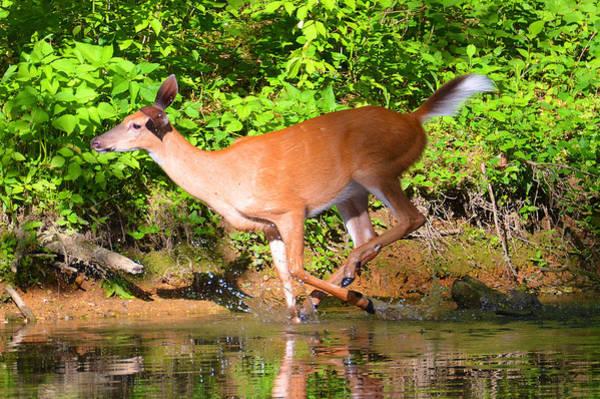 Monocacy Wall Art - Photograph - Deer In Motion by Ken Serfass
