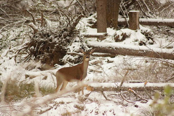 Wall Art - Photograph - Deer In Snow by Angi Parks