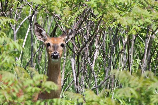 Horicon Marsh Photograph - Deer In Staghorn Sumac by Neora Chana Rut