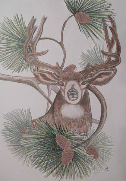 Whitetail Drawing - Deer In The Northwest by Teresa Wenger