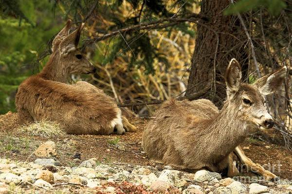 Photograph - Deer In The Rockies by Adam Jewell