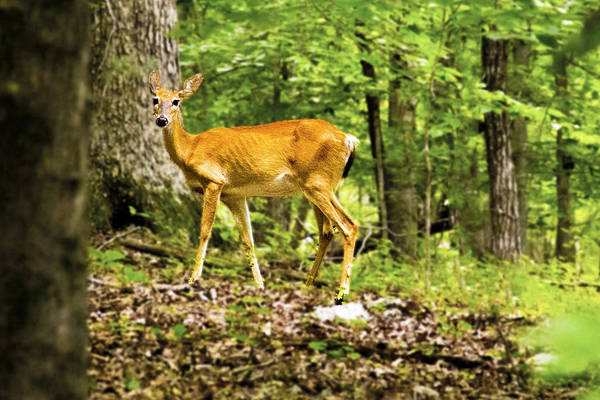 Wall Art - Photograph - Deer In The Woods by Frank Savarese