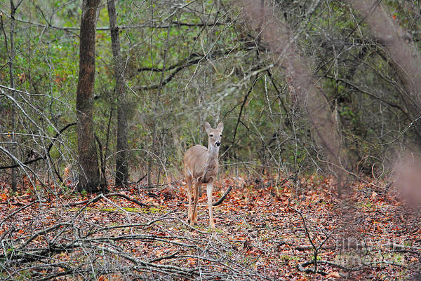 Photograph - Deer In The Woods by Jai Johnson