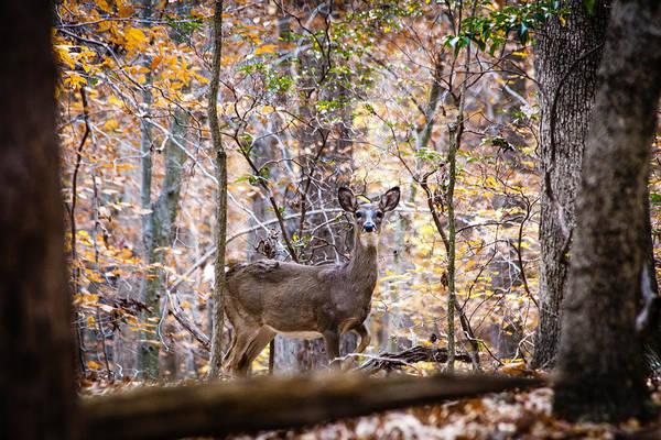 Photograph - Deer In The Woods by Karen Saunders