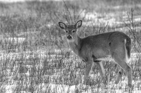 Brian Rock Wall Art - Photograph - Deer In Winter by Brian Rock