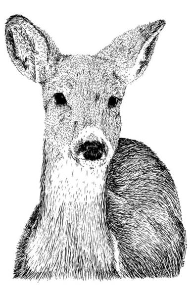 Wall Art - Drawing - Deer by Karl Addison