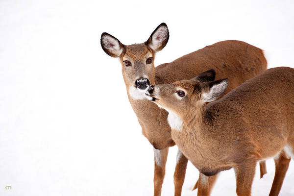 Deer Wall Art - Photograph - Deer Kisses by Karol Livote