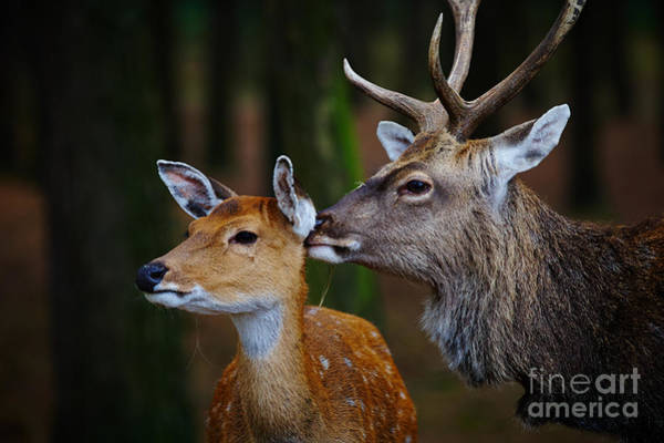 Photograph - Deer Love by Nick  Biemans