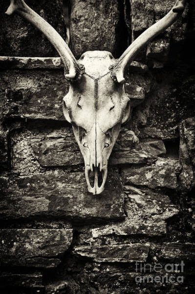 Photograph - Deer Skull  by Tim Gainey