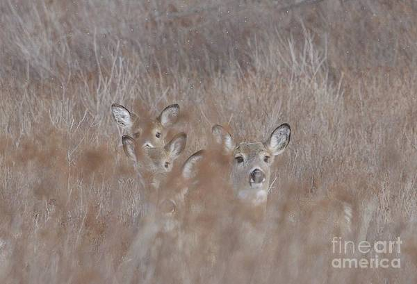 Photograph - Deer Soft by Randy Bodkins