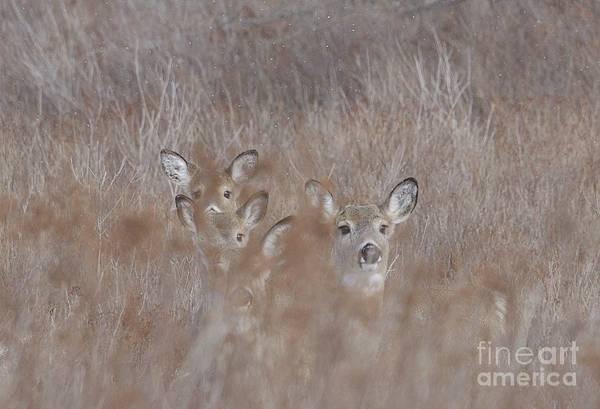 Wall Art - Photograph - Deer Soft by Randy Bodkins