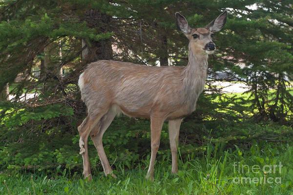 Deer Tourist... Art Print