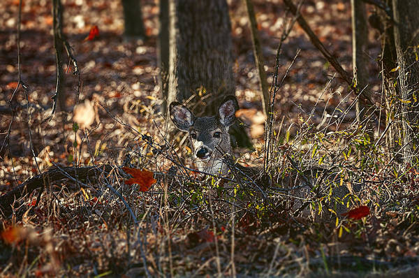 Wall Art - Photograph - Deer Watching Falling Leaves - White-tailed Deer - Wildlife by SharaLee Art