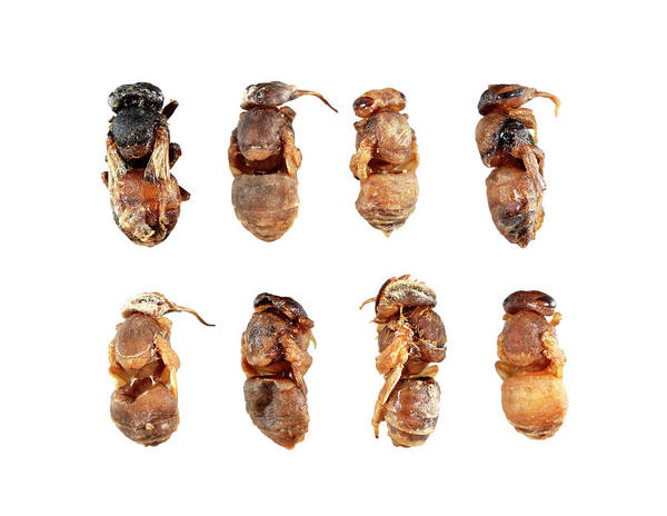 Honeybees Wall Art - Photograph - Deformed Honeybee Pupae by Uk Crown Copyright Courtesy Of Fera/science Photo Library
