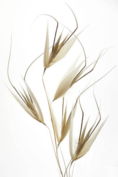 Wheat Wall Art - Photograph - Delicacy Of Nature by Shogun