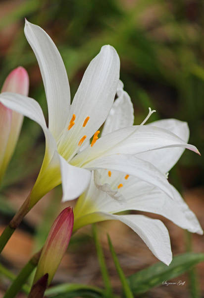 Seasonal Wall Art - Photograph - Delicate And Delightful - Atamasco Lilies by Suzanne Gaff