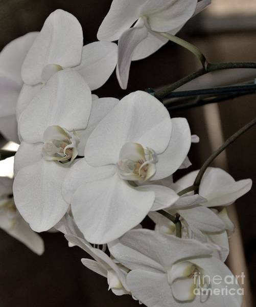 Ohau Wall Art - Photograph - Delicate Beauty Orchid by Brenda Dorman