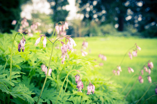 Photograph - Delicate Bleeding Hearts by Priya Ghose
