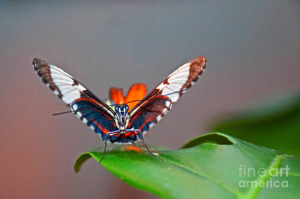 Photograph - Delicate Butterfly by Lula Adams