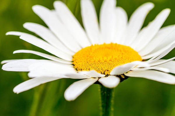 Photograph - Delicate Daisy by Teri Virbickis