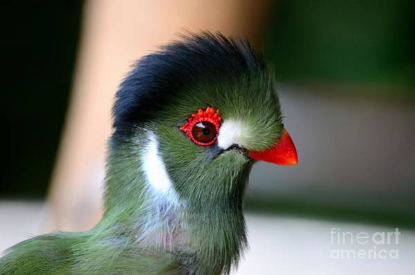 Photograph - Delicate Green Turaco Bird With Red Beak White Patches And Black Crown by Imran Ahmed