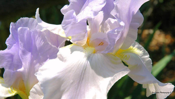 Rader Photograph - Delicate Iris by Roe Rader
