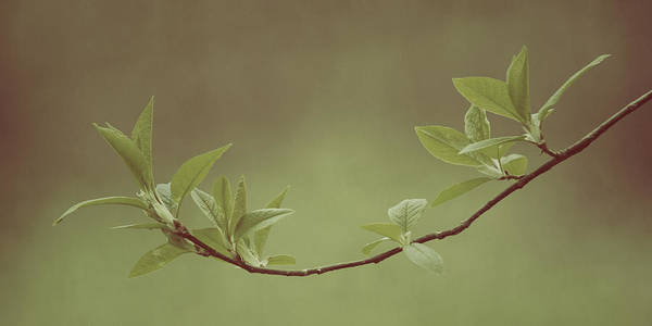 Photograph - Delicate Leaves by Ari Salmela