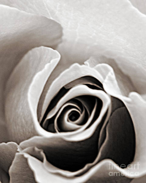 Wall Art - Photograph - Delicate Rose by Emily Kelley