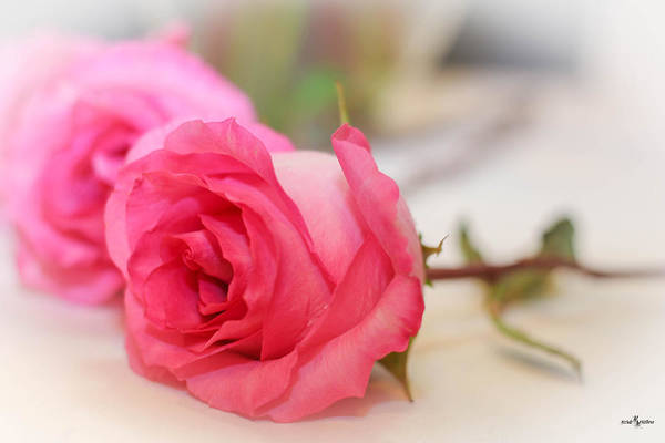 Photograph - Delicate Rose by Mechala Matthews