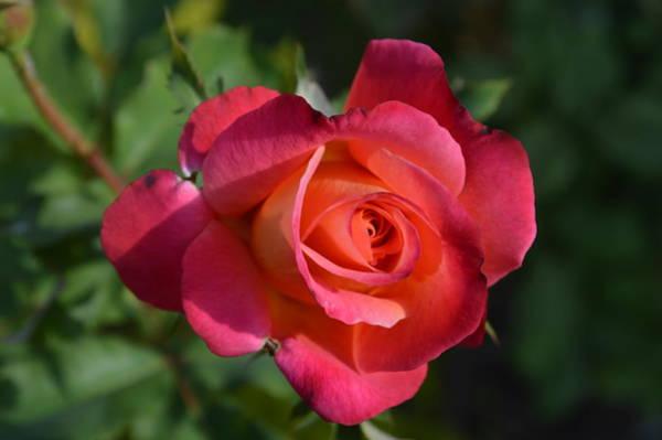 Delicate Rose  Art Print