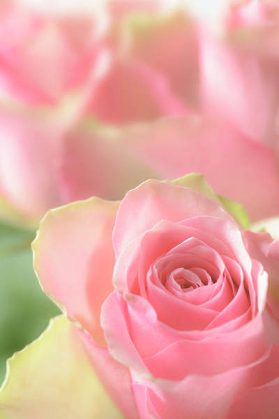 Fragility Photograph - Delicate Soft Pink Rose With More Roses by Ekspansio