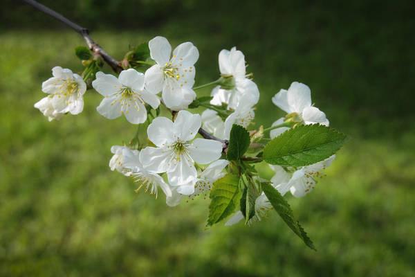 Photograph - Delicate Springtime by Ari Salmela