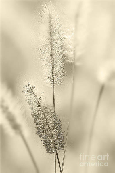 Ornamental Grass Photograph - Delicate Sweetgrass by Heiko Koehrer-Wagner