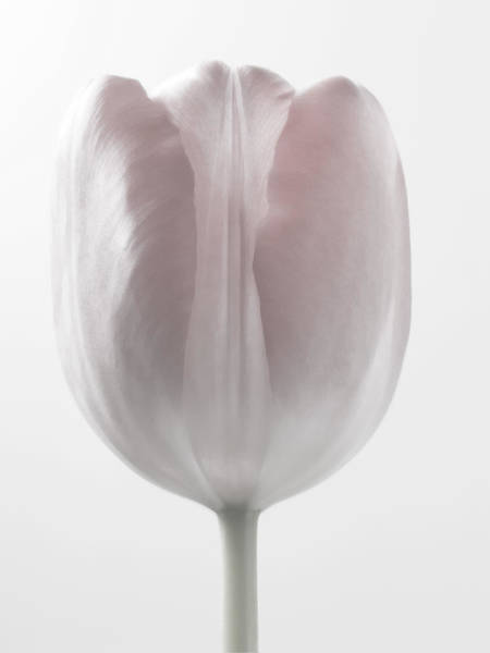 Dutch Tulip Photograph - Close Up White Flowers Macro Photography Art by Artecco Fine Art Photography