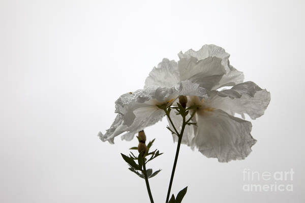 Wall Art - Photograph - Delicate White1 by Amanda Barcon