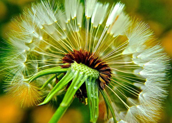 Outstanding Photograph - Delightful Dandelion by Frozen in Time Fine Art Photography
