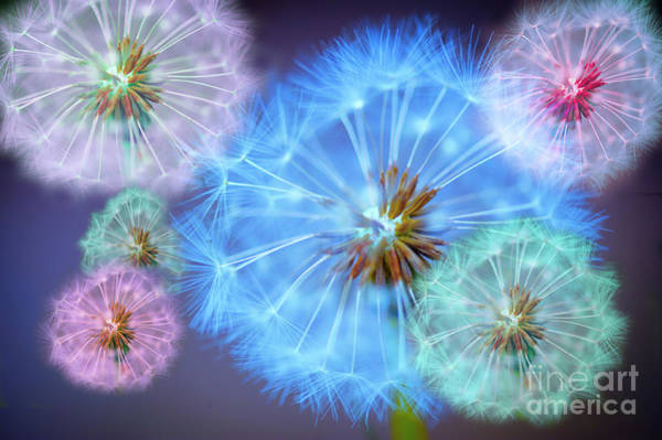 Flower Head Photograph - Delightful Dandelions by Donald Davis