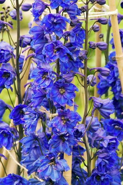 Tit Photograph - Delphinium 'blue Tit' Flowers by Adrian Thomas