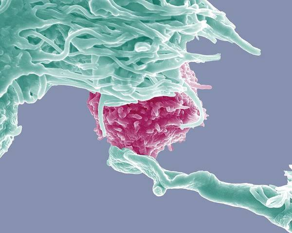Wall Art - Photograph - Dendritic Cell And Lymphocyte by Dr Olivier Schwartz, Institute Pasteur/ Science Photo Library