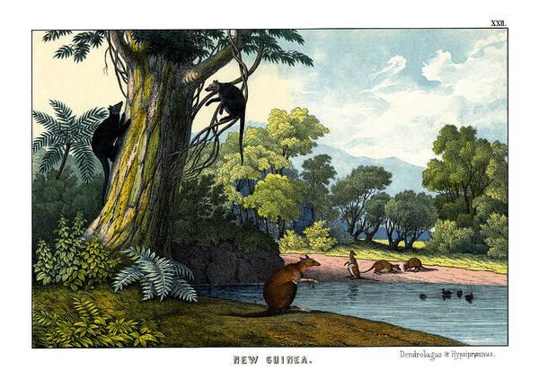 Kangaroo Drawing - Dendrolagus And Hypsiprymnus by Splendid Art Prints