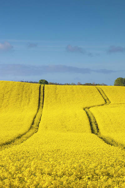 Canola Wall Art - Photograph - Denmark, Mon, Magleby, Rapeseed Field by Walter Bibikow
