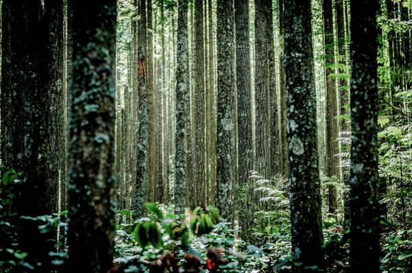 Cedar Tree Photograph - Dense Grove Of Cedar Trees by Brian Xavier Photography