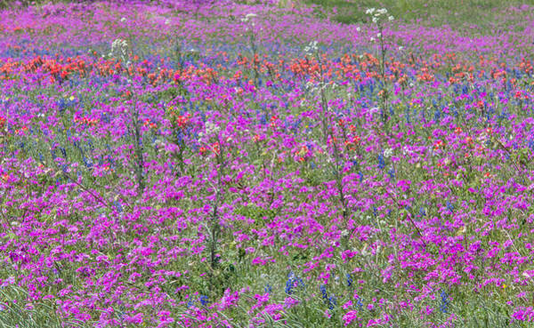 Photograph - Dense Phlox And Other Wildflowers by Steven Schwartzman