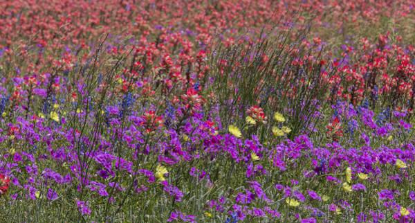 Photograph - Dense Texas Wildflowers by Steven Schwartzman